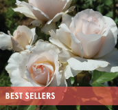roses-categories-best-sellers.jpg