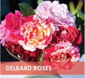 roses-categories-delbard-off.jpg