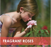 roses-categories-fragrant-off.jpg