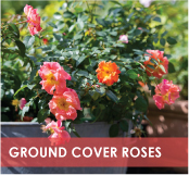 roses-categories-ground-cover-off.jpg