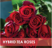 roses-categories-hybrid-teas-off.jpg
