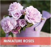 roses-categories-miniature-roses-off.jpg