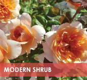 roses-categories-modern-shrub.jpg