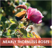 roses-categories-nearly-thornless-off.jpg