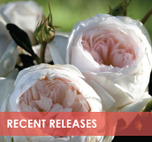 roses-categories-recent-releases.jpg