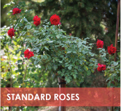 roses-categories-standard-off.jpg