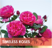 roses-categories-timeless-roses-off.jpg