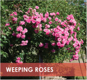 roses-categories-weeping-off.jpg