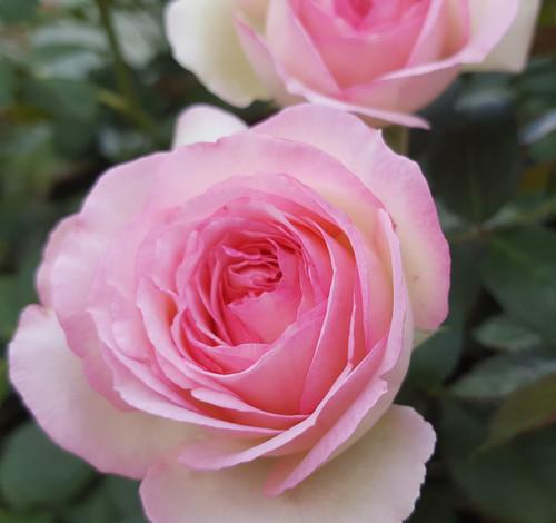 Pierre de ronsard climbing rose rose sales online for Pierre de ronsard rosa