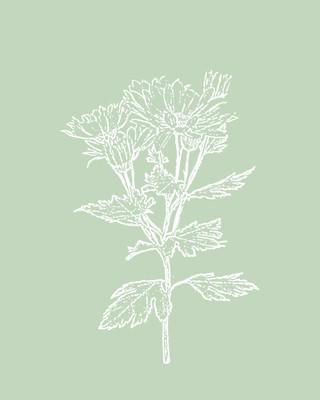 Chrysanthemum / Dewdrop
