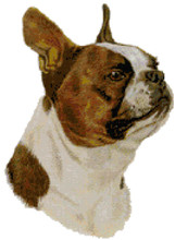 Brown Boston Terrier Portrait