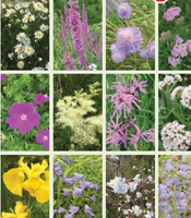 IRISH WILD FLOWER PLANTS