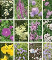 IRISH WILD FLOWER PLANTS
