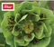 HELLEBORUS DOUBLE GREEN SPOTTED
