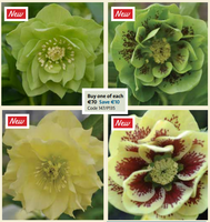 MR MIDDLETON'S HELLEBORUS WINTER MAGIC COLLECTION