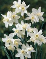Daffodil Toto