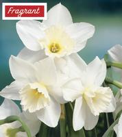 Daffodil Tresamble