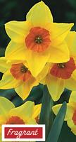 Daffodil suzy