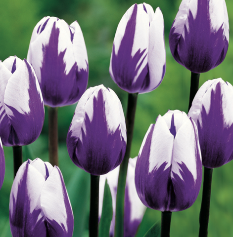 Tulip Blueberry Ripple