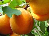 Apricot Royal - 15 Gal