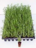 Rosemary 'Prostratus' - Flat