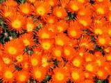 Iceplant Orange Bush - Flat