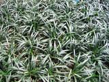 Ophiopogon japonicus nana 'Dwarf Mondo Grass' - 1 Gal