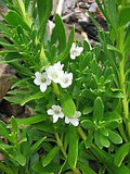 Myoporum Parvifolium 'White' - 1 Gal