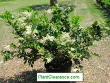 Ligustrum japonicum 'Texanum' Japanese Privet, Wax-leaf Privet  - 5 Gal