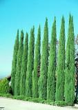 Italian Cypress - 15 Gallon