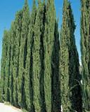 """Italian Cypress - 24"""" Box"""