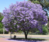 "Jacaranda mimosifolia (J. acutifolia) - 24"" Box Standard"