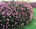 Rhaphiolepis indica 'Pink Lady' Indian Hawthorn - 5 Gallon