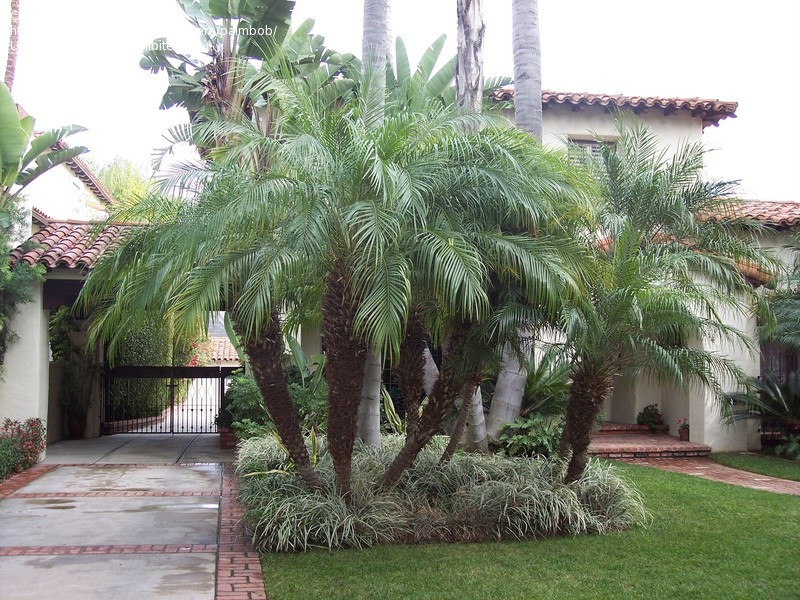 Pygmy date palm growth rate in Australia