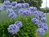 Agapanthus africanus (A. orientalis) Blue Lily of the Nile - 5 Gallon