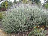 Lavandula 'Goodwin Creek Gray' Lavender 'Goodwin Creek Gray' - 5 Gallon