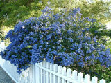 Ceanothus 'Concha' California Lilac 'Concha' - 5 Gallon