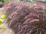 Pennisetum setaceum 'Rubrum' ('Cupreum') Red Fountain Grass - 5 Gallon
