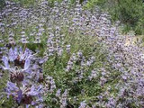 Salvia leucophylla Purple Sage, Gray Sage - 5 Gallon
