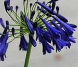 Agapanthus 'Storm Cloud' Large Dark Blue Lily of the Nile- 5 Gallon