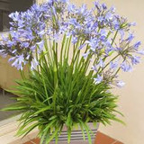 Agapanthus 'Peter Pan' Blue Dwarf Blue Lily of the Nile - 5 Gallon