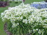 Agapanthus africanus 'Albus' White Lily of the Nile - 5 Gallon