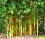 """Bamboo Alphonse Karr - 24"""" Box"""