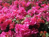 Bougainvillea 'James Walker' Bougainvillea Large Fl. Bracts of Reddish Purple (Vine Type) - 5 Gallon