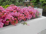 Bougainvillea 'Rosenka' Bush Bougainvillea Orange/Pink (Bush Type) - 5 Gallon