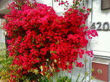 Bougainvillea 'San Diego Red' Bougainvillea Red (Vine Type) - 5 Gallon