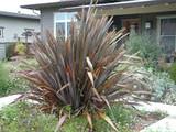 Phormium tenax 'Atropurpureum' ('Bronze')('Purpureum') New Zealand Flax tenax 'Atropurpureum'  - 15 Gallon