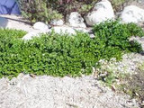 Carissa macrocarpa 'Tuttlei' ('Nana Compacta Tuttlei')('Tuttle') Natal Plum 'Tuttlei' - 5 Gallon
