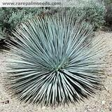 Yucca whipplei (Hesperoyucca w.) Our Lord's Candle - 5 Gallon
