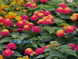 Lantana 'Irene' Lantana Yellow Pink - 5 Gallon